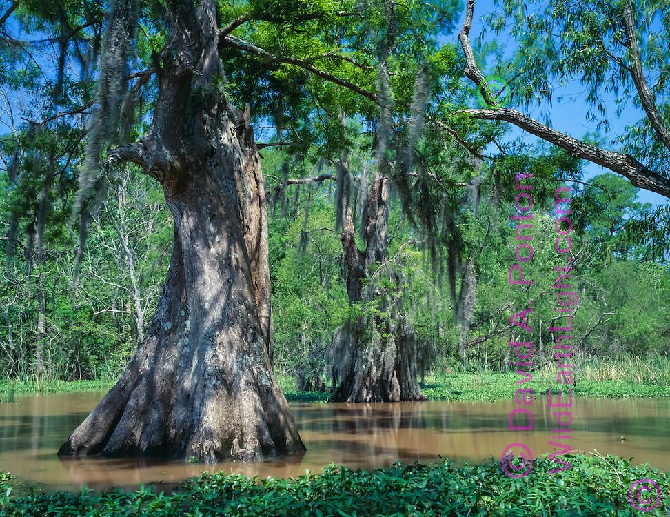 Old growth cypress tree in southern swamp, Atchafalalaya Basin, © David A. Ponton