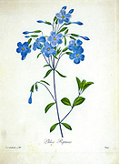 19th-century hand painted Engraving illustration of a Crawling Phlox (Phlox reptans) flower, by Pierre-Joseph Redoute. Published in Choix Des Plus Belles Fleurs, Paris (1827). by Redouté, Pierre Joseph, 1759-1840.; Chapuis, Jean Baptiste.; Ernest Panckoucke.; Langois, Dr.; Bessin, R.; Victor, fl. ca. 1820-1850.