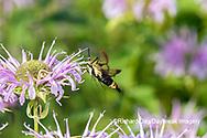 04005-00414 Snowberry Clearwing (Hemaris diffinis) on Wild Bergamot (Monarda fistulosa) Marion Co. IL