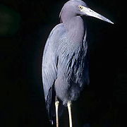 Little Blue Heron, (Egretta caerulea) Ding Darling National Wildlife Refuge. Florida.
