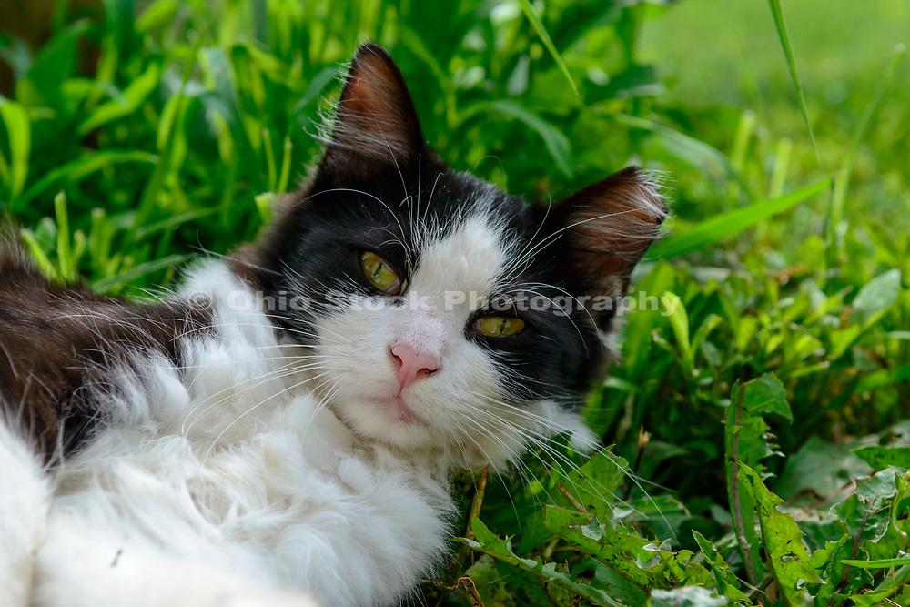 Domestic Shorthair tuxedo cat. Columbus, Ohio, USA. July 2014