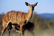 Nyala calf and mother (Tragelaphus angasi). Native range: lowland woods of extreme SW Africa including Zimbabwe, Mozambique and South Africa.