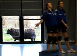 17-03-2013 VOLLEYBAL: EK KWALIFICATIE NEDERLAND - SLOWAKIJE: AMSTELVEEN<br /> Het Nederlands polietieteam plaatst zich voor het EK door Slowakije met 3-0 te verslaan / Een schaap loopt langs de vernieuwde Emergo sporthal te Amstelveen<br /> ©2013-FotoHoogendoorn.nl