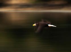 White-tailed Eagle (Haliaeetus albicilla) in Katmai, Alaska