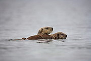Mother sea otter and pup swimmimng