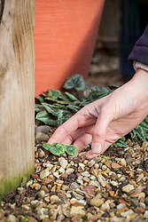 Looking out for self sown cyclamen seedlings around the base of pots