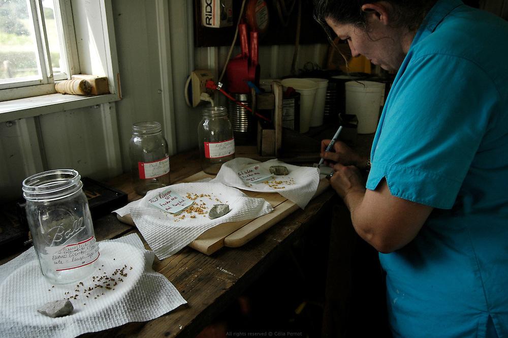 """DANJO Farms, Joanne vient de récupérer les graines de plusieurs variétés de tomates que les Nelson souhaitent cultiver à la prochaine saison. Elle les répertorie avant de les faire sécher à l'abri de la lumière.<br /> <br /> A small American family farm takes up the challenge of """"naturally grown"""" Missouri, USA, 2006-2007.<br /> DANJO Farms, Joanne is saving seeds from different varieties of tomatoes that they wish to grow next season. She lists them before drying them away from the light."""