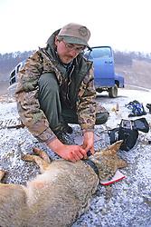 Putting Radio Collar On Anesthetized Coyote