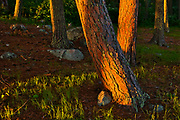 Sunset light on stems of red pine trees (Pinus resinosa<br /> Pinus resinosa)<br />