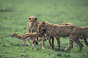 Cheetah<br /> Acinonyx jubatus<br /> A mother and her 8 mos old cubs with fawn<br /> Ngorongoro Conservation Area, Tanzania<br /> A mother and her three 8 mos old cubs huddle around a Thomon's gazelle fawn as they learn how to catch prey.