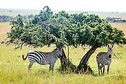 Kenya, Masai Mara common zebra equus granti resting in the shade of an Acacia tree