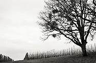 Vinter på vingården Antica Terra, Dundee i Oregon, USA