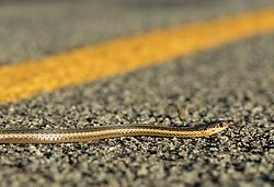 September 10, 2017 - Elkton, OREGON, U.S - A small snake crosses a country road near Elkton in rural western Oregon. (Credit Image: © Robin Loznak via ZUMA Wire)