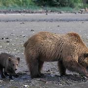 Alaskan Brown Bear, (Ursus middendorffi)  Mother and young bear clamming. Coastal Alaska.