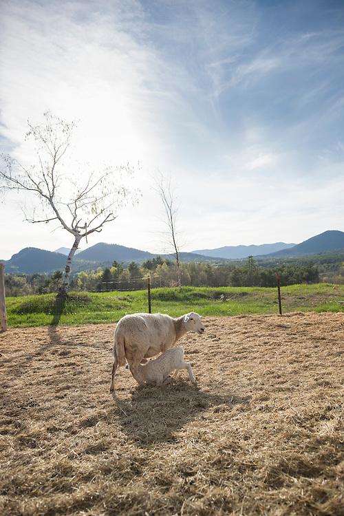 Ewe and her lamb