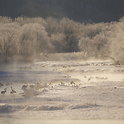 Red-crowned cranes (Grus japonensis) roost in the waters of the Setsurigawa River. Steam rising from the warm waters coats the trees on the river's edge in glistening ice crystals. Ambient temperature this morning was -5F degrees. Hokkaido, Japan