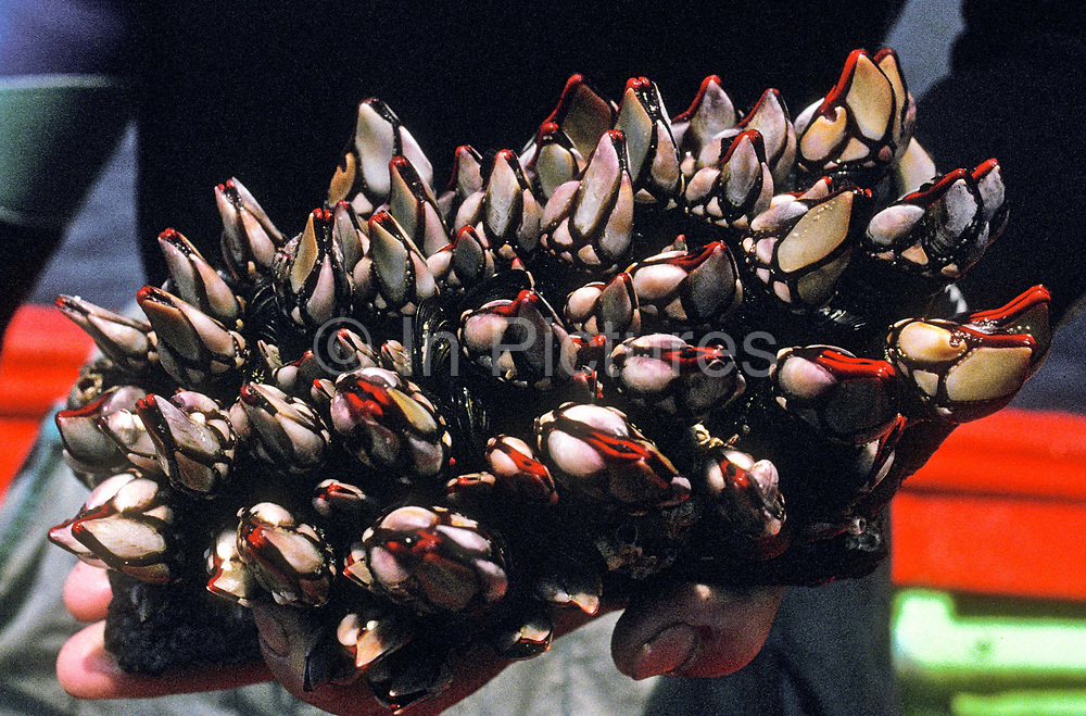 """The Spanish delicacy of """"Percebes"""" a highly priced and very expensive gooseneck barnacle that grows only on rocks with heavy surf. There are only a few regions that they can be cultivated, including the Rias Altas region of Galicia."""
