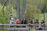 Visiting audience at the event when Sven Björk, veterinarian, is about to dart a bison for transportation. Transportation of European Bison, or Wisent, from the Avesta Visentpark, in Avesta, Sweden. The animals were then transported to the Armenis area in the Southern Carpathians, Romania. All arranged by Rewilding Europe and WWF Romania, with financial support from The Dutch Postcode Lottery, the  Swedish Postcode Foundation and the Liberty Wildlife Fund.