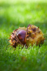 Conkers with casing fallen onto lawn. Aesculus hippocastanum. Common Horse Chestnut