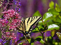 """Western Tiger Swallowtail (Papilio rutulus)  Wingspan:  2.5-5.5"""".   Butterfly found  in open grasslands around cottonwoods and willows.  Colorado USA."""