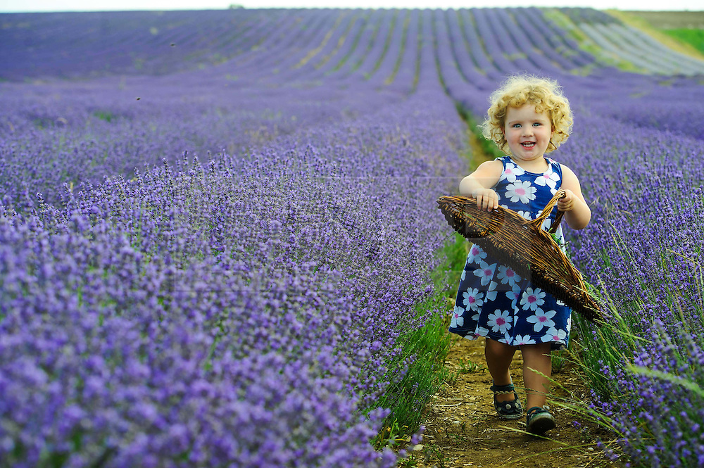 © Licensed to London News Pictures. 26/07/2013 Hitchin, UK. Two year old Isla Stocks picks lavendar at Hitchin Lavendar, Cadwell Farm, Hitchin, Hertfordshire. The Lavendar, now in full bloom, has been farmed at Cadwell for more than one hundred years and for five generation, farming over 12 acres of lavender or 17 miles of rows. In the past the small market town of Hitchin was one of only two major Lavender growing areas in the country. At its height in the nineteenth century a hundred acres were grown around the town and it soon became renowned nationally. Each lavender field could continually produce abundant crops for five years before being uprooted and burned, providing a fragrant and captivating aroma that blew across the whole town.<br /> Photo credit : Simon Jacobs/LNP
