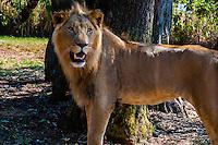 Young male lion, Lion Park, near Johannesburg, South Africa.