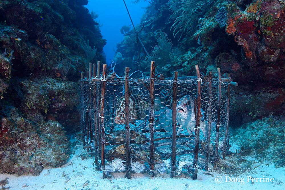fish trap placed at spawning aggregation site by holders of special fishing permit, has caught four Nassau groupers, Epinephelus striatus ( Endangered Species ), Lighthouse Reef Atoll, Belize, Central America ( Caribbean Sea )