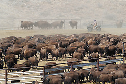 Cowboy on ATV rounding up bison in pen during bison roundup, Ladder Ranch, west of Truth or Consequences, New Mexico, USA.