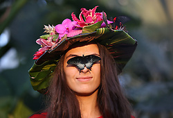 © Licensed to London News Pictures. 15/01/2016. Wisley, UK. Model Georgina Alexi wears a hat made from tropical flowers as a butterfly lands on her face at the launch of 'Butterflies in the Glasshouse' at RHS Gardens Wisley. Hundreds of butterflies are released into the warm surroundings of glasshouse in this annual event. Forty different species will flit and feed among the tree ferns, palms, creepers and flowers from January 16 to March 6, 2016.    Photo credit: Peter Macdiarmid/LNP
