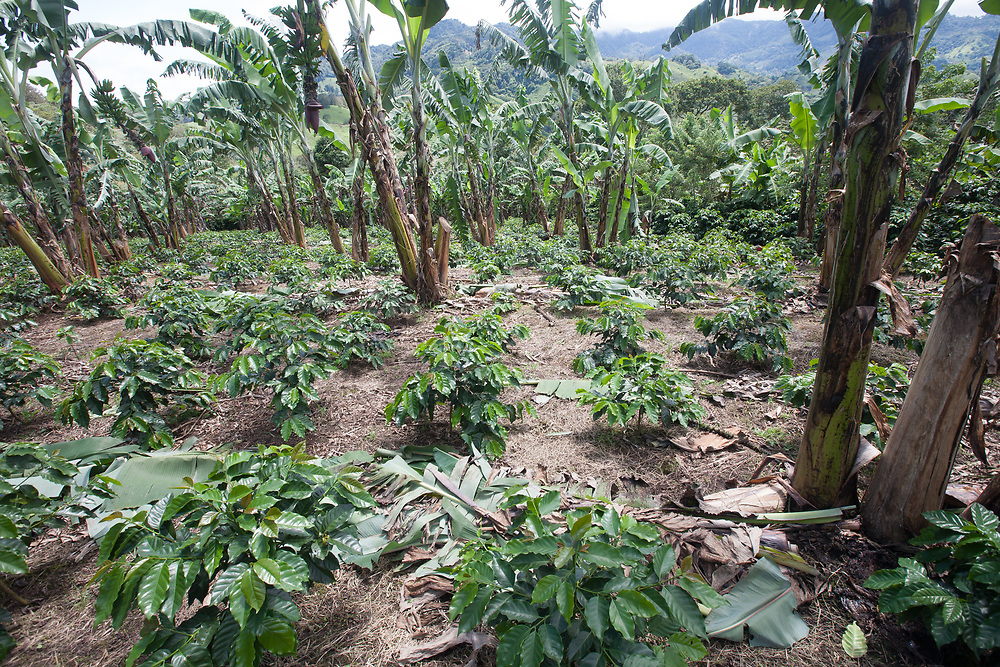 Coffee plants need shade. These young bushes, of one year old, are given shade by the fast growing bananas while trees grow up to shade the coffee. Fairtrade-certified Cooperatives El Gorrión and Polo are Fairtrade-certified coffee producers in San Sebastián de Yalí, Jinotega, Nicaragua.