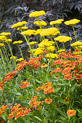 Helenium 'Flammendes Käthchen' with Achillea filipendulina 'Gold Plate' AGM in front of Sambucus nigra (elder) in the Big Border at Manor Farm House. Sneezeweed