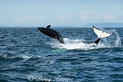 southern resident orcas, or killer whales, Orcinus orca, a juvenile breaches, while an adult slaps its tail on the water while swimming upside down, off southern Vancouver Island, Strait of Juan de Fuca, British Columbia, Canada ( Eastern North Pacific Ocean )