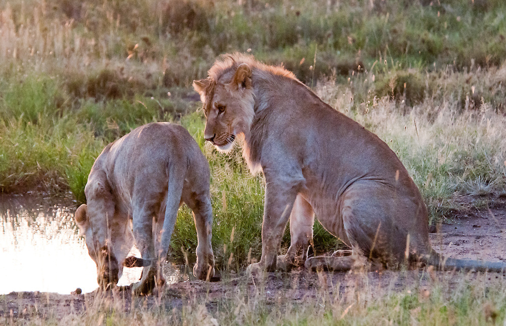 Two Lions - Simba