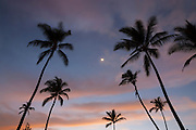 The moon shines between coconut palm trees (Cocos nucifera) at sunset at Makena Beach, Maui, Hawai`i.