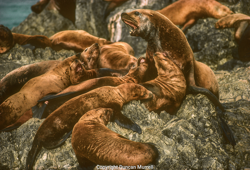 Reproductively mature male sea lions aggregate on traditional rookeries in May, usually on beaches on isolated islands. A week or so later, adult females arrive, accompanied occasionally by sexually immature offspring, and form fluid aggregations throughout the rookery. Steller sea lions are polygamous but they do not coerce individual females into harems but control spatial territories among which females freely move about. Pregnant females give birth soon after arriving on a rookery, and copulation generally occurs one to two weeks after giving birth, but the fertilized egg does not become implanted in the uterus until the autumn. After about a week of nursing, females start taking increasingly longer foraging trips, leaving the pups behind until in late summer when they both leave the rookery. Males fast until August, often without returning to the water, after which time the rookeries break up and most animals leave for the open seas and disperse throughout their range.<br /> Steller sea lions are predated upon by orcas and I actually witnessed the death of one bull that had become quite attached to me. It had been showing so much interest in me and it even raised its head out of the water right in front of me to have a good look with its bulging eyes. A short while later I heard a commotion in the distance and saw that a pod of transient orcas had arrived on the scene and were systematically charging the sea lion and thrashing it with their flukes. It was a difficult event to witness, especially whenever the big bull re-appeared on the surface gasping for breath. It took the orcas about 15 minutes to finally kill it and not long after that they were attacking some humpback whales that had strayed onto the scene. It was an exhilarating experience to be paddling my kayak so close to a pod of orcas engaged in a hunt, but they showed no interest in me. It was one of those occasions when I wished that I'd had someone else with me to witness such an amazing spectacle