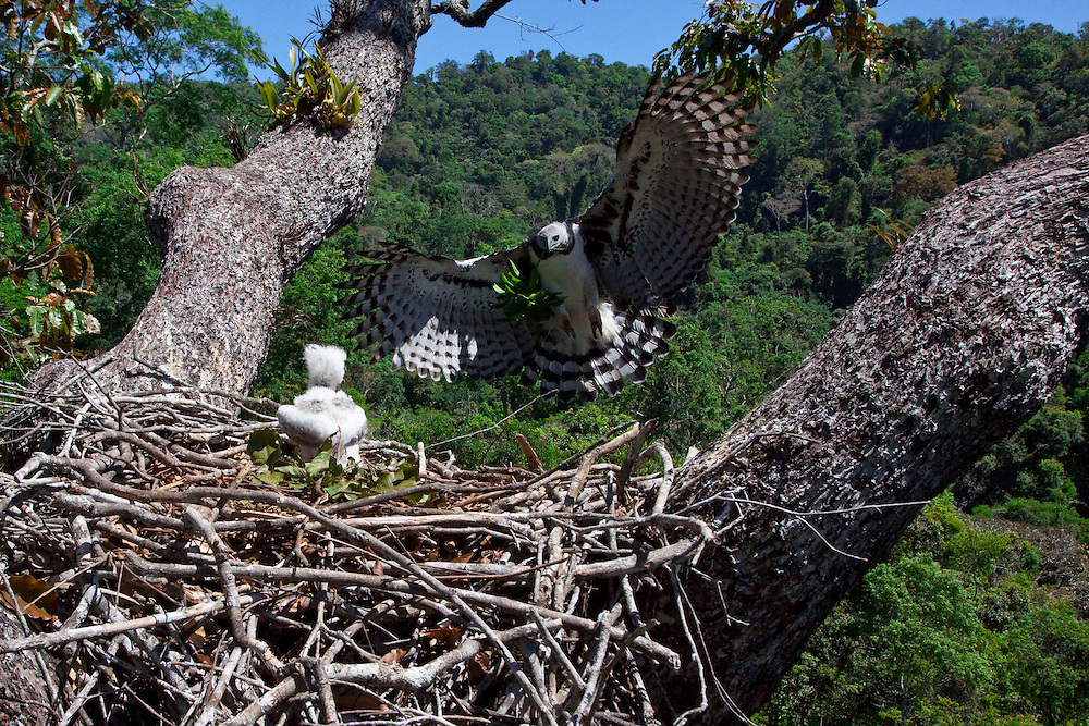 Parauapebas, Para - Brazil...July 2009...The harpy builds its nest in 35 to 50-meter tall growing trees (115 to 164 feet). The largest trees offer them forks large enough to support structures as big as 3m diameter (9.8 feet)..Photo: Joao Marcos Rosa / Nitro