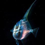 Juvenile moorish idol (Zanclus cornutus) with transparent skin in the open ocean at night off Anilao, Philippines.