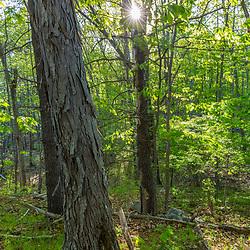 A forest scene at Emery Farm in Durham, New Hampshire. Shagbark hickory, Carya ovata.