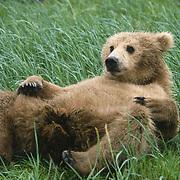 Alaskan brown bear (Ursus middendorffi) lying on its back resting. Katmai National Park & Preserve, Alaska