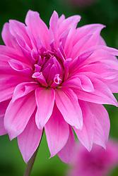 Dahlia 'Babylon Pink'