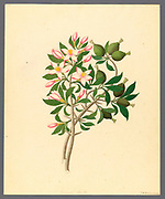 Gardenia Nov. Sp. [Hyperacanthus amoenus] (1817) from a collection of ' Drawings of plants collected at Cape Town ' by Clemenz Heinrich, Wehdemann, 1762-1835 Collected and drawn in the Cape Colony, South Africa