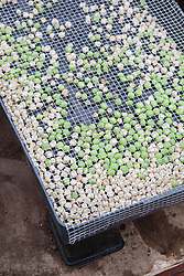 Mummy peas stored in raised tray covered with wire to protect from mice