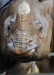 © Licensed to London News Pictures.19/11/14 Luton, UK. FILE PICTURE dated 8.01.13 of a rhino in the enclosure at Whipsnade Zoo after zookeeper has suffered serious injuries after being trampled by one of the animals at the Bedfordshire zoo. The keeper was tramped by the beast as he tended to a rhino early this morning. It's not clear what caused the animal to attackThe man, who is in his 50s, suffered chest, abdomen and pelvis injuries after the animal attacked inside its enclosure.He was helped by zoo staff, and was taken by ambulance to Addenbrooke's Hospital in Cambridge in a serious but stable condition.Photo credit : Simon Jacobs/LNP