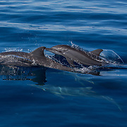 Spinner dolphins (Stenella longirostris) bow-riding, Puerto Princesa, Palawan, the Philippines.