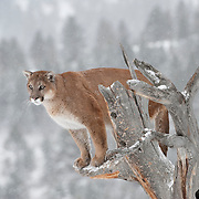Mountain lion in a tree in the Bridger Mountains in Montana. Captive Animal