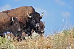 Three Bison, ridge line, Grand Teton National Park