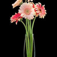 Six Gerber daisy bouquet in a vase with black background.