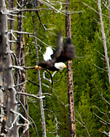 Bald Eagle (Haliaeetus leucocephalus). Yellowstone National Park, Wyoming. Image taken with a Nikon D2xs camera and 200-400 mm f/4 VR and 1.4x teleconverter lens.