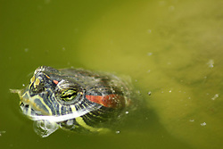 April 13, 2018 - Madiun, East Java, Indonesia - The reptile of the [Trachemys scripta] swimming turtle equips the mini zoo in Madiun (Credit Image: © Ajun Ally/Pacific Press via ZUMA Wire)