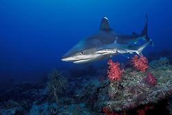 This rare photo shows a juvenile and an adult female Silvertip Shark, Carcharhinus albimarginatus, swimming together as they search for food. Silvertip Bank, Burma Banks, Andaman Sea, Indian Ocean